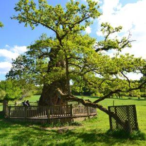 Randonnée Brocéliande, le chêne à Guillotin